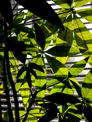 Leaves and stripes (plethora4834) Tags: plant leaves stripes shadows shadow leaf window sun blinds green