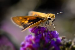 Skipper (wdterp) Tags: skipper butterfly insect