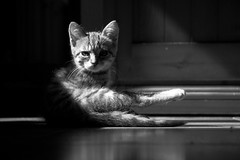 At Day All Cats Are Grey (futurepics) Tags: cat young canon 50d bw black blackwhite monocrome female