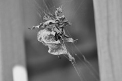 caught (ladybugdiscovery) Tags: web leaves withered brown dry caught bw