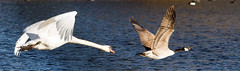 Hot pursuit (CharmFocus) Tags: vogels vogel a77 zwaan hotpursuit canadesegans watervogel 150200