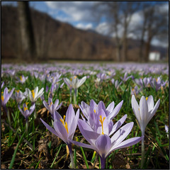 Prati in fiore (beppeverge) Tags: flowers primavera crocus fiori prato springtime fiorito fav10 fioritura pratofiorito flickrstruereflection2 flickrstruereflection3 flickrstruereflection4 flickrstruereflection5 flickrstruereflection7 beppeverge