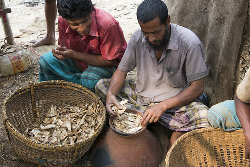 Production of fermented fish in Sylhet, Bangladesh. Photo by Finn Thilsted, 2013.