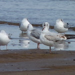 Black-headed Gull thumbnail
