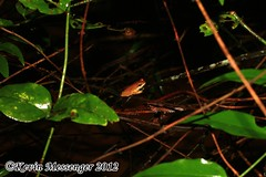 Chirixalus nonghkensis (Kevin Messenger) Tags: canon thailand kevin wildlife amphibian frog frogs messenger herpetology amphibia chirixalus kevinmessenger nonghkensis