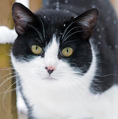 Portrait Of A Black And White Domestic Cat, Felis catus, In Snow. UK (PANDOOZY PHOTOS) Tags: portrait pet white black cute cat pussy domestic catus and felis