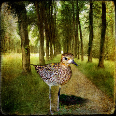 kolea in paradise (1crzqbn) Tags: sunlight color green bird nature square shadows textures 7d ie hss vividimagination imagepoetry artdigital shockofthenew memoriesbook awardtree magicunicornverybest exoticimage 1crzqbn sliderssunday koleainparadise pacificgoldenplower