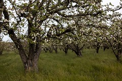 Apple Blossoms #3 (Tom Moyer Photography) Tags: california orchard sonomacounty appleorchard appleblossoms