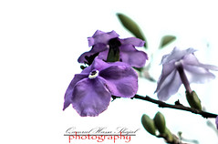 Purpel Beauty (Shajal1) Tags: life old pink flowers blue trees portrait white flower color macro tree green nature beautiful beauty closeup canon wonderful dark lens photography eos golden evening leaf amazing nice colorful dof village purple shot samsung 300mm 55mm disk dell intel excellent hassan lovely core 18mm 75mm supershot i7 70mm300mm canon60d shajal canoneos60d blinkagain gettyimagesbangladeshq12012 qamrul qamrulhassanshajal