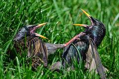 birds taekwondo karate violence kickboxing fightclub starlings