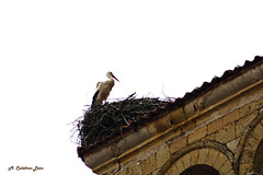 Cigea (MCULEBRASLEON) Tags: animals segovia animales stork cigea cicogna
