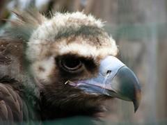 Zoo Prague: Eurasian black Vulture | Mnchsgeier (W i l l a r d) Tags: animal zoo prague prag praha zootier