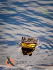 BullFrog in water (scalderphotography) Tags: water face eyes florida wildlife frog aquatic amphibians wetland americanbullfrog ranidae vierawetlands lithobatescatesbeianus scalderphotography sandracalderbank