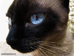 Mia (Rgis Cardoso) Tags: blue pet macro cute sol nature animal cat landscape eyes natureza gato gata regisness