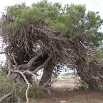 Tree, Salt Pans, Santa Pola