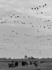 scenic (Chantal van der Ende-Appel) Tags: birds geese highlands cattle cows naturereserve dike lauwersmeer