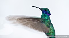 (Esteban Barrera) Tags: bird quito ecuador pjaro colobrihummingbird