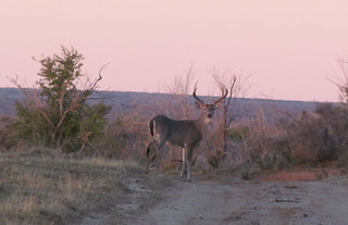 Texas Free Range Whitetail Hunt - Cotulla 19