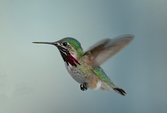 Male Calliope Hummingbird (Stellula calliope) (Photography Through Tania's Eyes) Tags: canada bird animal photography fly photo bill wings nikon photographer hummingbird bc image britishcolumbia okanagan wildlife flight feathers photograph okanaganvalley calliopehummingbird stellulacalliope peachland copyrightimage nikond7000 malecalliopehummingbird taniasimpson