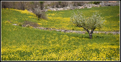 Countryside (Dov Plawsky) Tags: trip travel flowers vacation italy nature field yellow nikon quiet calming peaceful impressionist dov alberobello plawsky