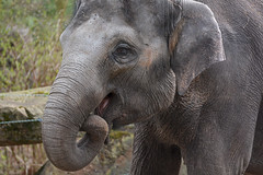 Asian Elephant (Truus & Zoo) Tags: netherlands animals zoo rotterdam blijdorp endangered tonya asianelephant dierentuin elephasmaximus aziatischeolifant