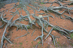 Skeleton Roots (B.G.Schultz-Photography) Tags: trees nikon cookforeststatepark d7000