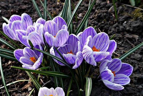 Crocus 4. of 4.