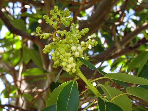 111/365 — Madrone in bloom
