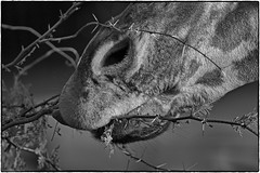 Canopy lunch (oosh) Tags: africa bw white black monochrome animals zoo eating giraffe thorns teleconverter tarongazoo nikontc14eii flickrexportdemo nikond700 afsnikkor300mmf4difed