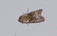 The Spectacle Moth (Abrostola tripartita) (2450) DSC_1511 (carolemason) Tags: moth devon valley churchwood spectacle the wembury 2450 abrostola tripartita