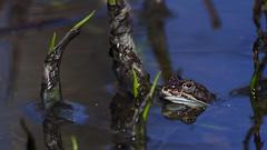 A guy in the pond (Cano Vääri) Tags: spring frogs amphibians ranatemporaria commonfrog ypäjä