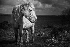 Pony (MartynHall ) Tags: wild england horse white lake black west temple interestingness interesting cornwall south reservoir explore pony moor bodmin explored colliford
