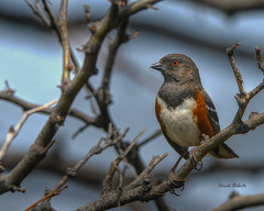 Spotted Towhee male (colorob) Tags: painterly colorado spotted littleton towhee pipilomaculatus coloradowildlife colorob nikond800e