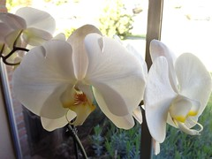 Nossa Phalaenopsis em flor / Unsre weisse Phalaenopsis Orchidee blht / Our white Moth Orchid is in blo om (pbeppler) Tags: