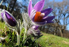Pulsatilla vulgaris (Amberinsea) Tags: beautiful spring purple sweden meadow lovely rare pasqueflower protected springflower pulsatillavulgaris backsippa amberinseaphotography