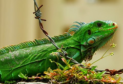 Green Iguana (2mag7- non-stop catching up!) Tags: house home southamerica animal suriname monplaisir paramaribo greeniguana blinkagain bestofblinkwinners blinksuperstars