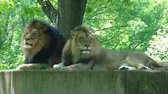 DSC03634 (Scott Boyer) Tags: zoo lion dczoo dschx9v