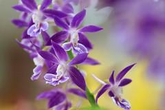 えびね (海老根)/Calanthe  -13 (nobuflickr) Tags: orchid flower japan kyoto calanthe thekyotobotanicalgarden 海老根 awesomeblossoms persephonesgarden ラン科エビネ属 20130502dsc09451 natureえびね
