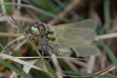 Dragonfly (BournemouthMike) Tags: macro green eye closeup canon bug insect fly interesting skin dragonfly insects explore wareham warehamforest canonef100mmf28usmmacro canon600d
