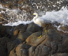 ~the egret with the yellow Helly Hansen~ (uteart) Tags: crane bird fisher white yellowboots rock ocean spray uteart utehagen snowyegret whiteheron hellyhansen boots gumboots copyrightutehagen2013allrightsreserved olympusomdem5 blinkagain