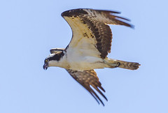 Adult Male Osprey, (John Mac Giolla Phdraig Leisen) Tags: pictures life wild usa fish newyork news bird nature birds fly dc washington pics hawk conservation prey laurie fowl devlin foul hawks fitzpatrick migrating sigel migrate mcnaulty jackleisen johnfitzpatrickleisen jackleisengmailcom lauriesigel