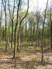 20130505_164529 (MelisaTG) Tags: cameraphone trees woods urbanwoods greenleafs