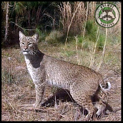 Animal Rangers Nuisance Bobcat Removal (Animal Rangers) Tags: control florida bobcat removal pest trappers animalcontrol nuisancewildlife animalrangers