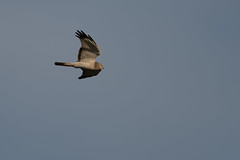Northern Harrier-40061.jpg (Mully410 * Images) Tags: bird birds birding raptor birdsinflight birdwatching birder birdsofprey harrier northernharrier grayghost tcaap ahats burdr tcaapwva