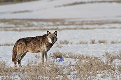 Alpha Wolf (Daryl L. Hunter - The Hole Picture) Tags: wild usa unitedstates wildlife yellowstonenationalpark haydenvalley alphamale endangeredspecies greywolf 712 alphawolf 712m yellowstonewolves canyonpack recoveringspecies