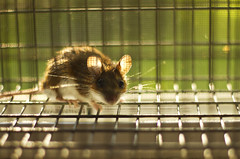 Mr. Mouse (Matt Champlin) Tags: cute home canon mouse trapped caged fieldmouse mrmouse 2013 mouseinthehouse miceinthehouse