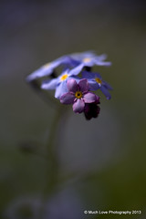 Forget me nots (Samantha Bennett) Tags: flower love photography sam ironbridge coalbrookdale much samantha bennett oca forgetmenots t189 muchlovephotography