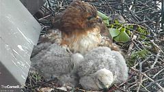 BR and sleeping chicks (Cornell Lab of Ornithology) Tags: red bird big university cams cornell redtailedhawk nestlings labofornithology cornelllabofornithology
