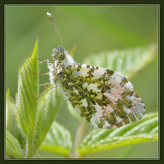 Orange Tip (m) (Full Moon Images) Tags: wood orange macro male nature female butterfly insect wildlife reserve tip national monks cambridgeshire nnr