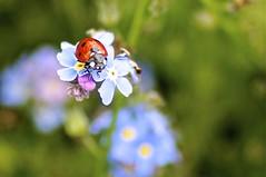 Marienkäfer (izoll) Tags: macro bokeh sony pflanzen blumen makro insekt insekten käfer blüten marienkäfer glücksbringer vergissmeinnicht myosotis zart nahaufnahmen alpha580 izoll myosotissylvatika